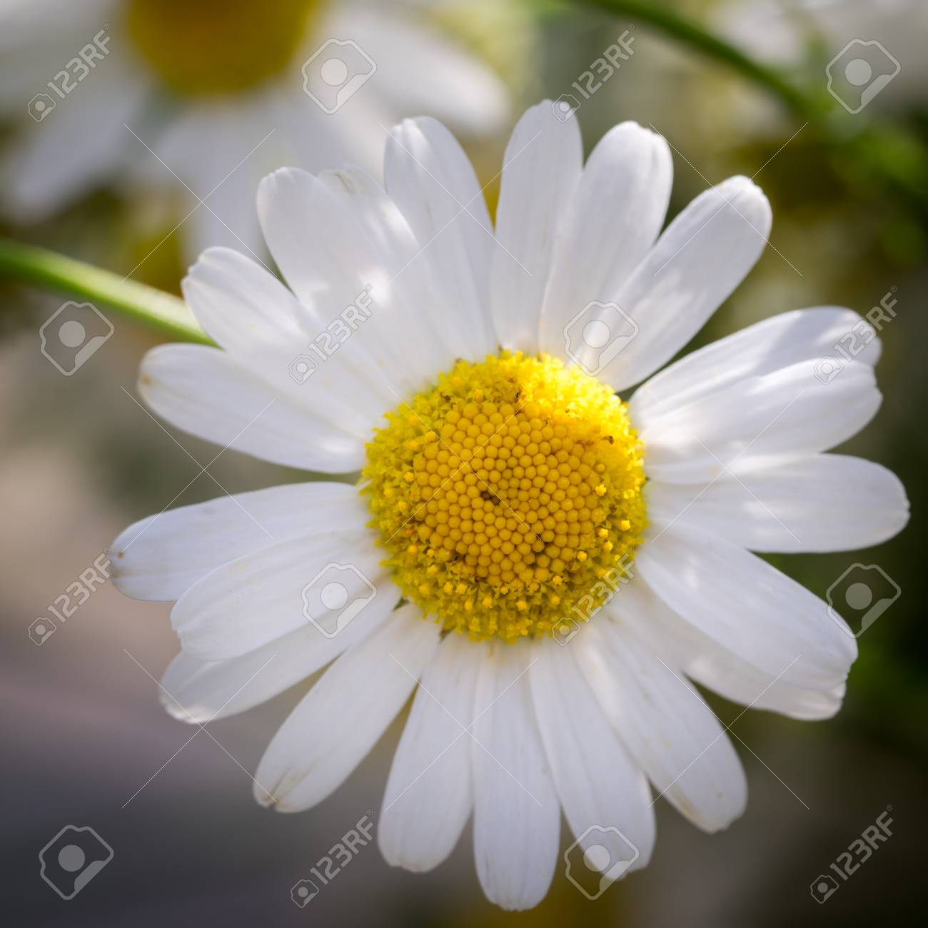 Beautiful daisy flower stock photo picture and royalty free image beautiful daisy flower stock photo 42523168 izmirmasajfo