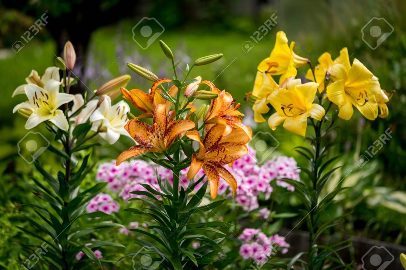 Group of orange yellow white color lily flowers blossom in stock group of orange yellow white color lily flowers blossom in the garden stock photo izmirmasajfo Choice Image