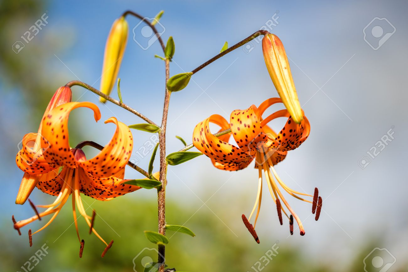 Tiger lilies in garden lilium lancifolium syn l tigrinum stock photo tiger lilies in garden lilium lancifolium syn l tigrinum is one of several species of orange lily flower to which the common name tiger izmirmasajfo