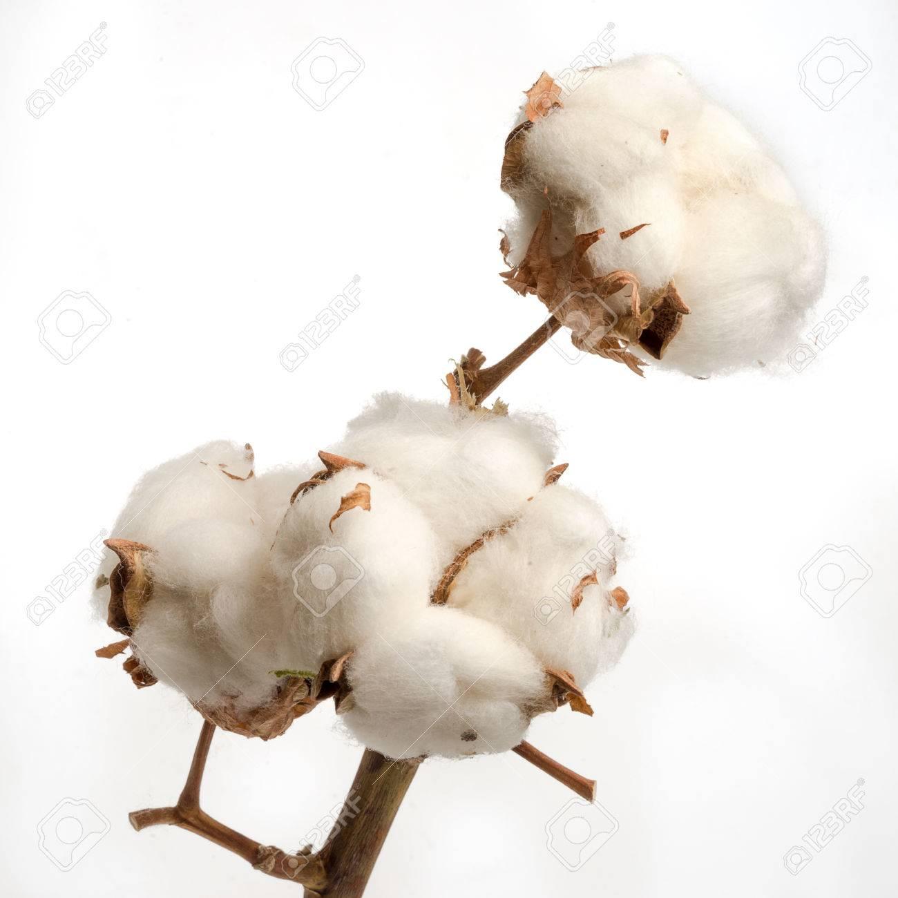 Branche Fleur De Coton branche de fleurs séchées coton plante isolé sur fond blanc