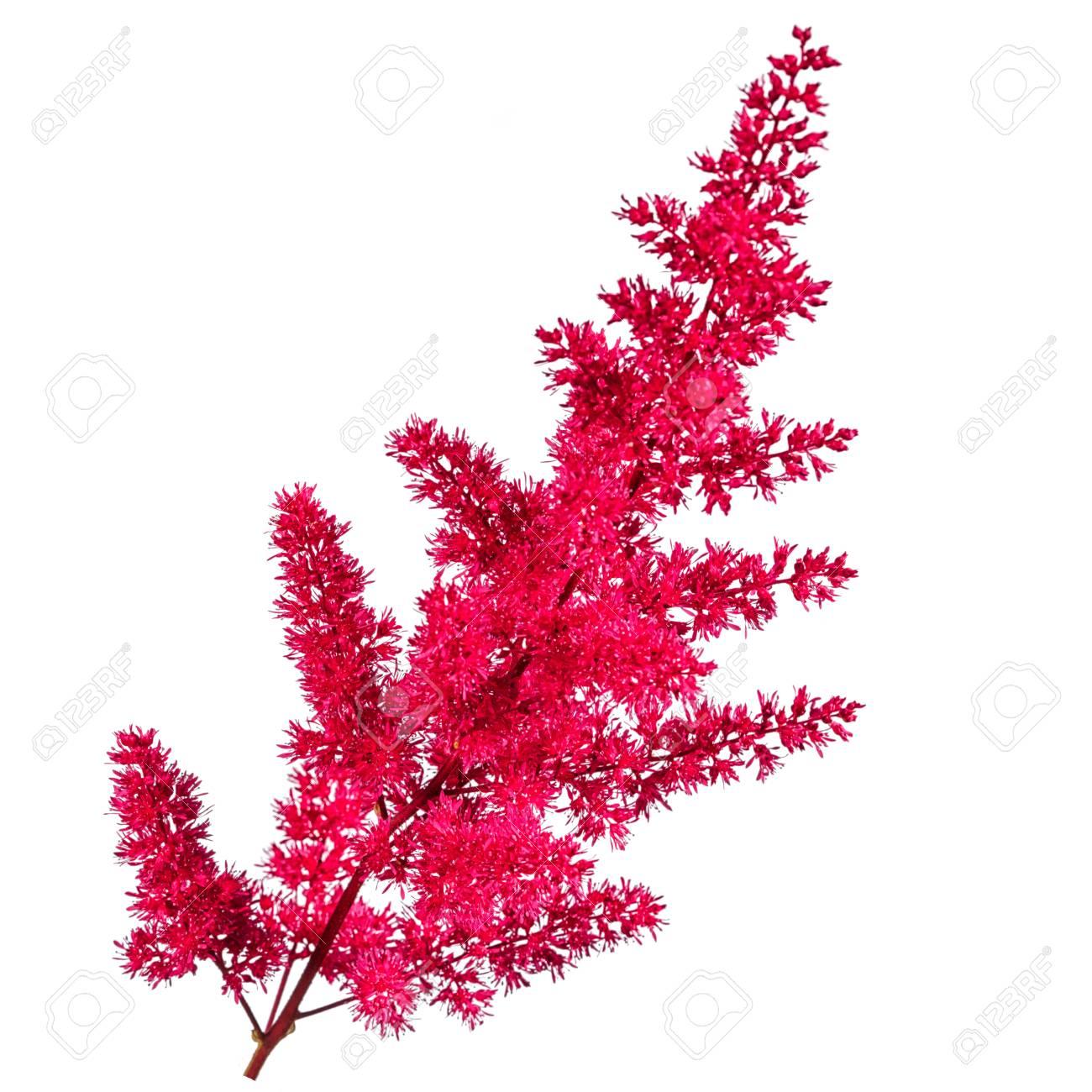 fleur d'astilbe rose peluche isolé sur fond blanc banque d'images et