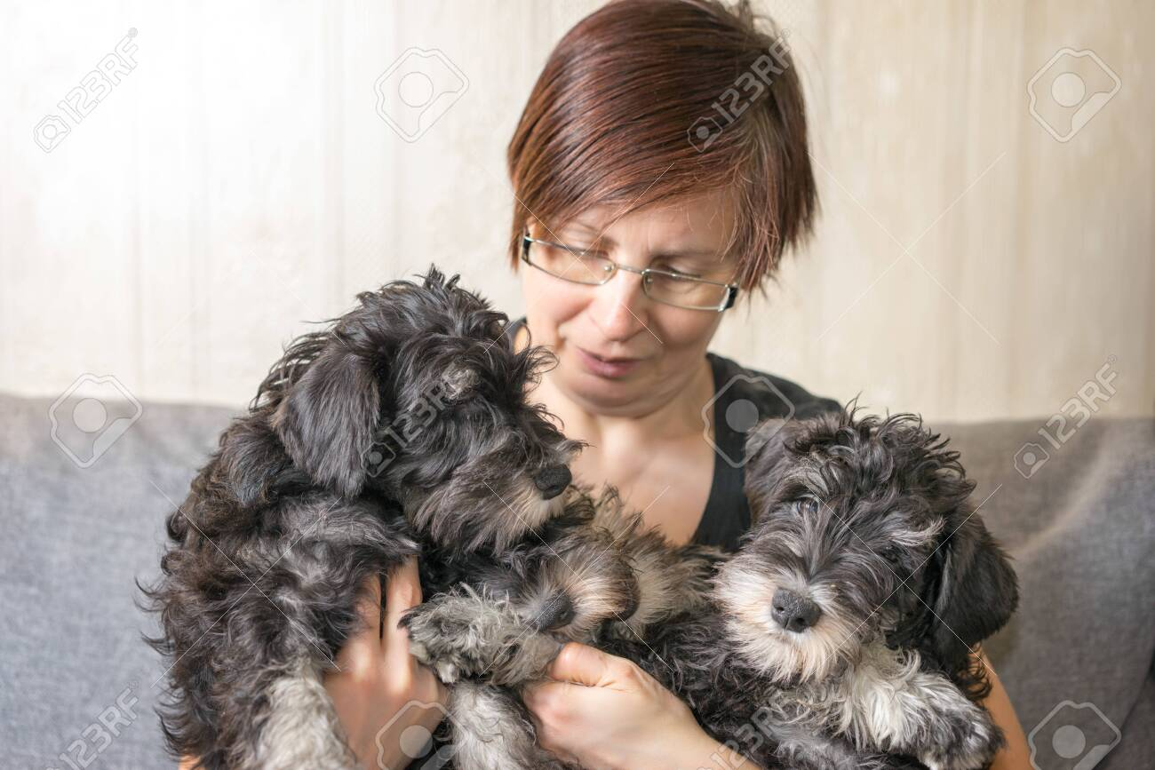 Breeder Of Dogs With Her Pets Three Miniature Schnauzer Puppies Stock Photo Picture And Royalty Free Image Image 142458134