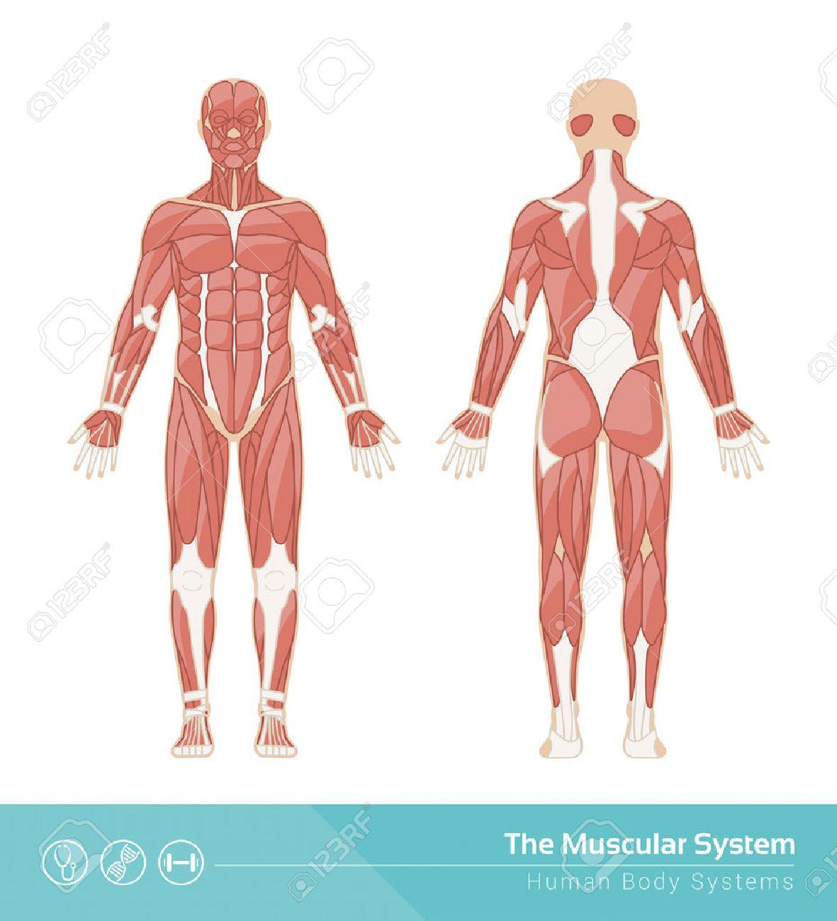 人間の筋肉システムのベクトル図前面および背面の表示しますの
