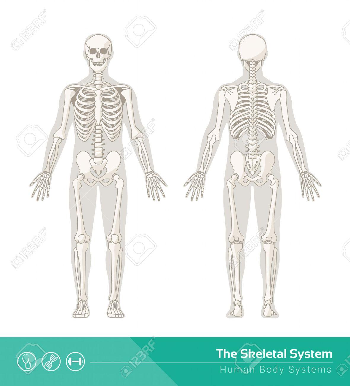 El Sistema Esquelético Humano, Ilustraciones De Vectores De Frontal ...