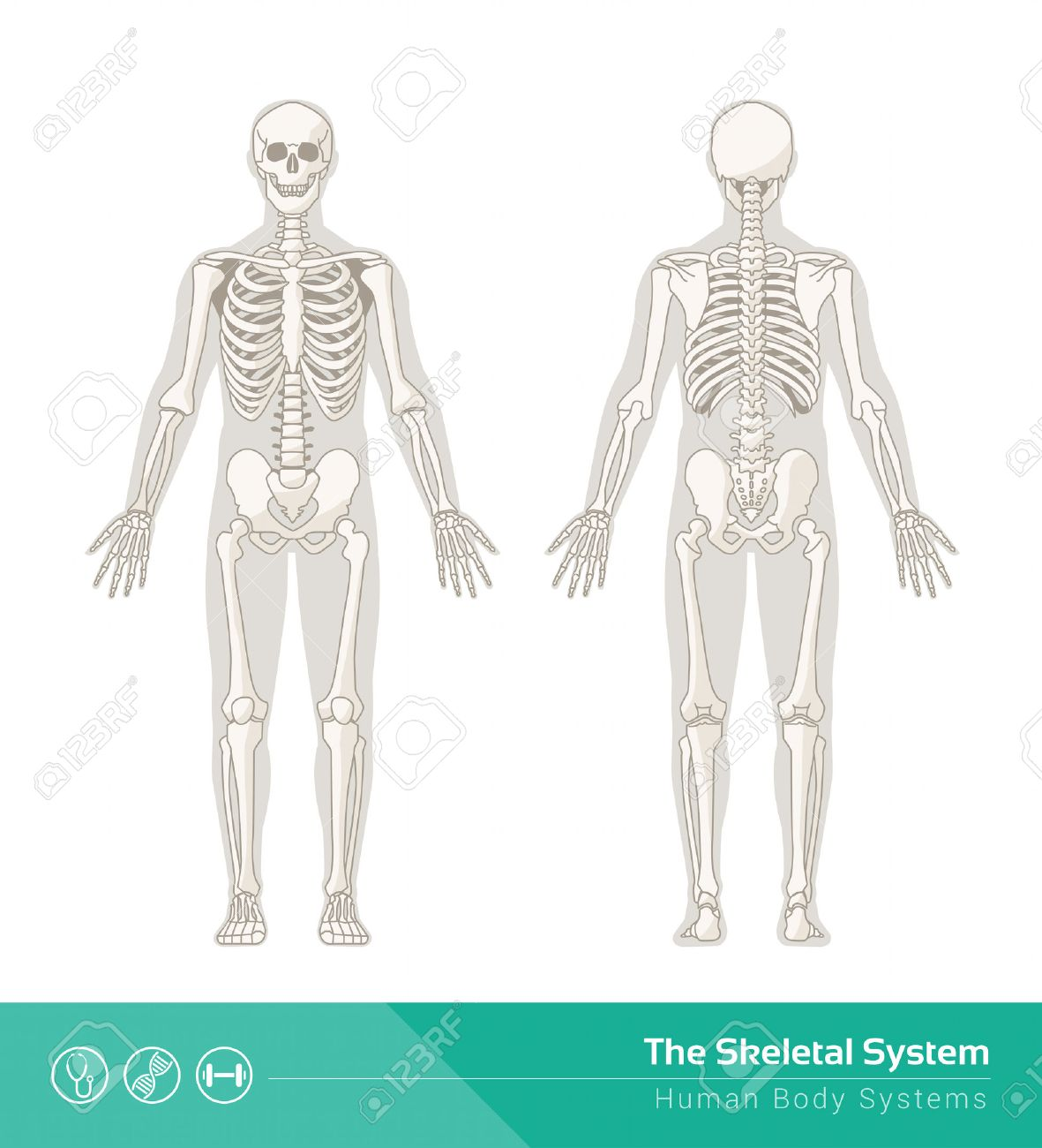 Skeletal System Stock Photos Royalty Free Skeletal System Images