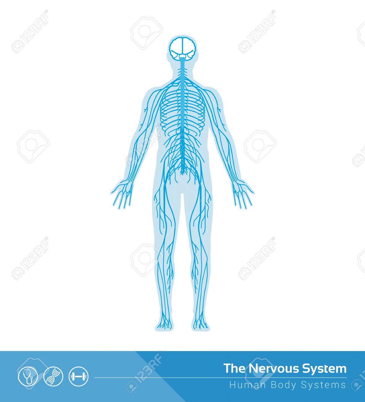 The Human Nervous System Vector Medical Illustration Royalty Free