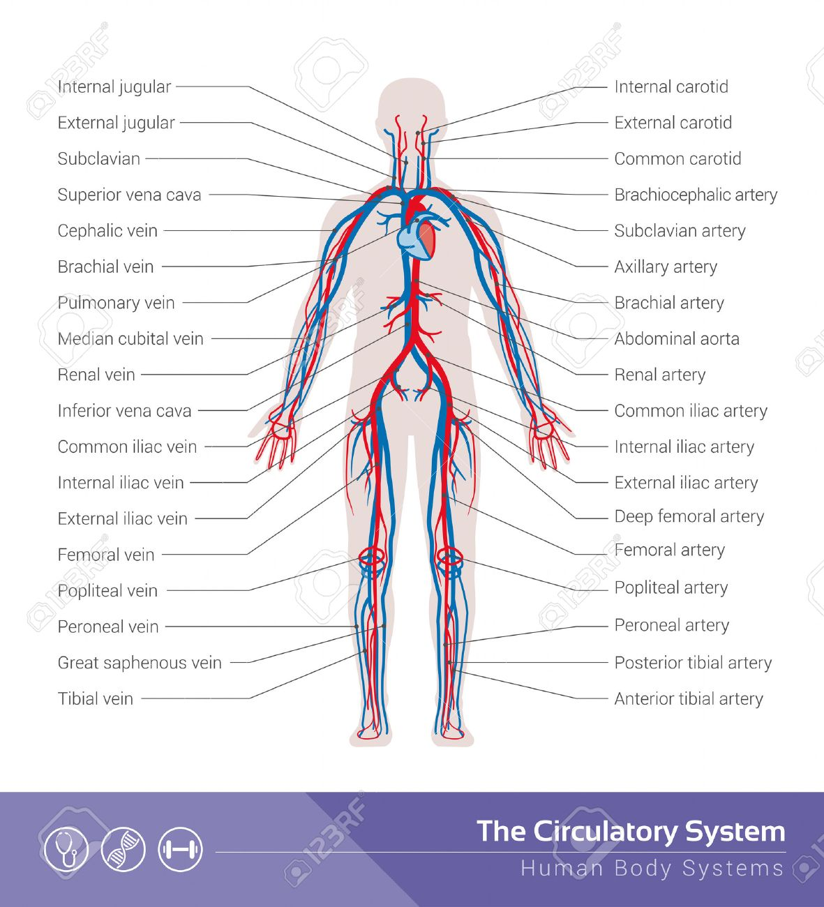 34,274 Vein Stock Illustrations, Cliparts And Royalty Free Vein Vectors