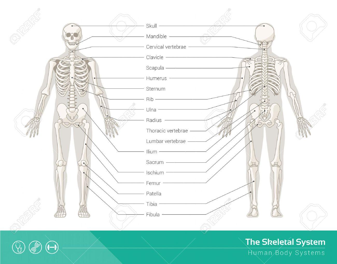 Beste Blank Menschliches Skelett Diagramm Zeitgenössisch ...