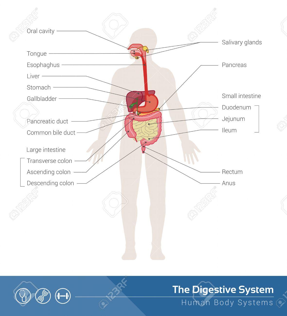 La Ilustración Médica Sistema Digestivo Humano Con Los órganos ...
