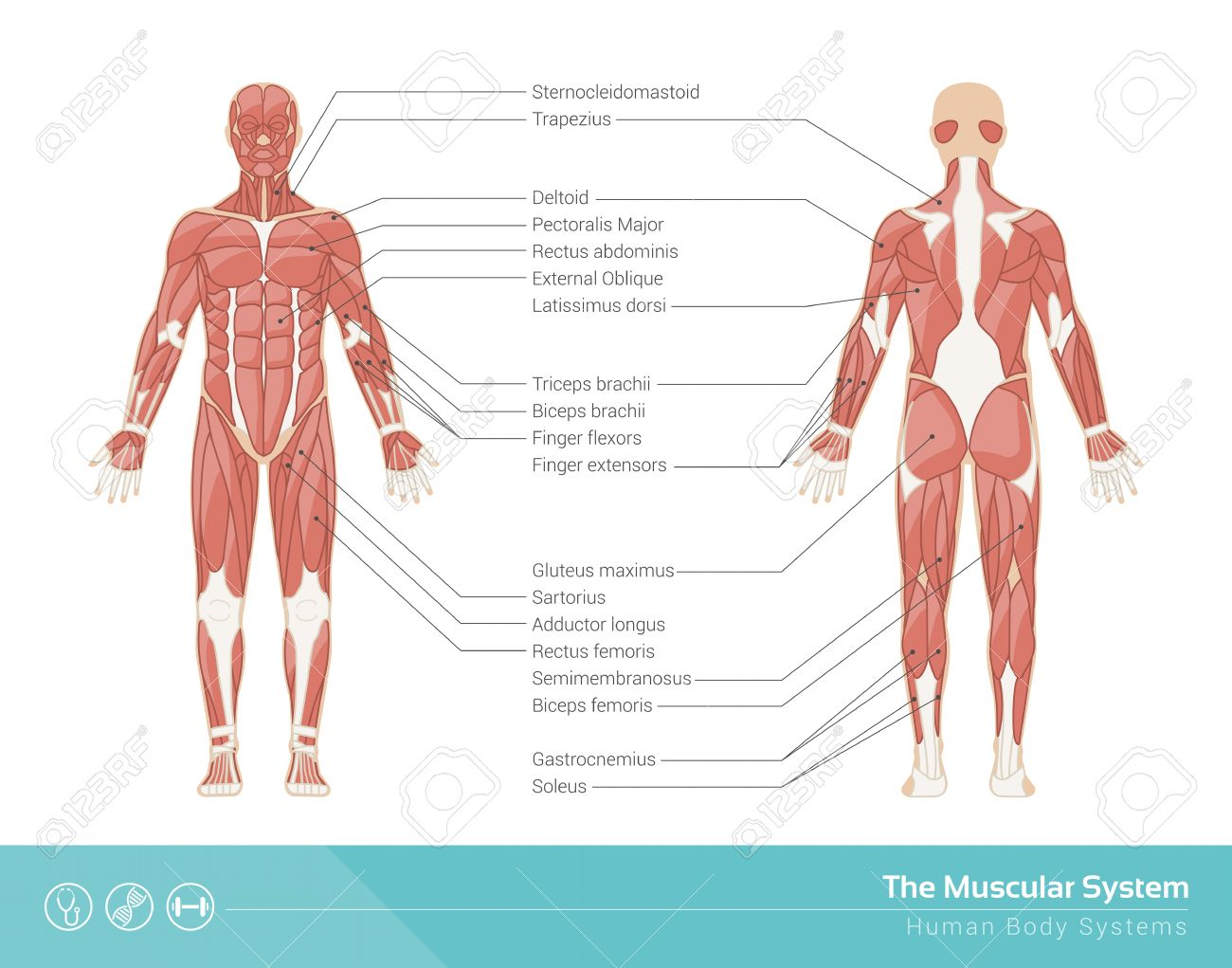The human muscular system vector illustration front and rear the human muscular system vector illustration front and rear view stock vector 44484170 ccuart Choice Image