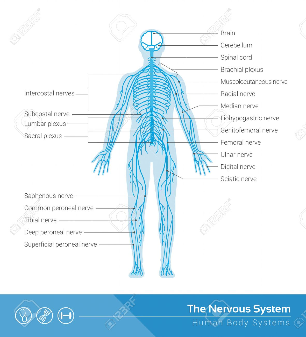 Central Nervous System Stock Photos Royalty Free Central Nervous