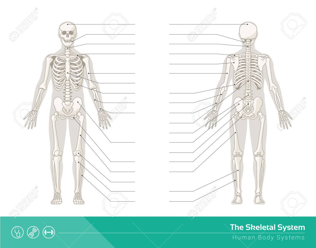 The Human Skeletal System Vector Illustrations Of Human Skeleton