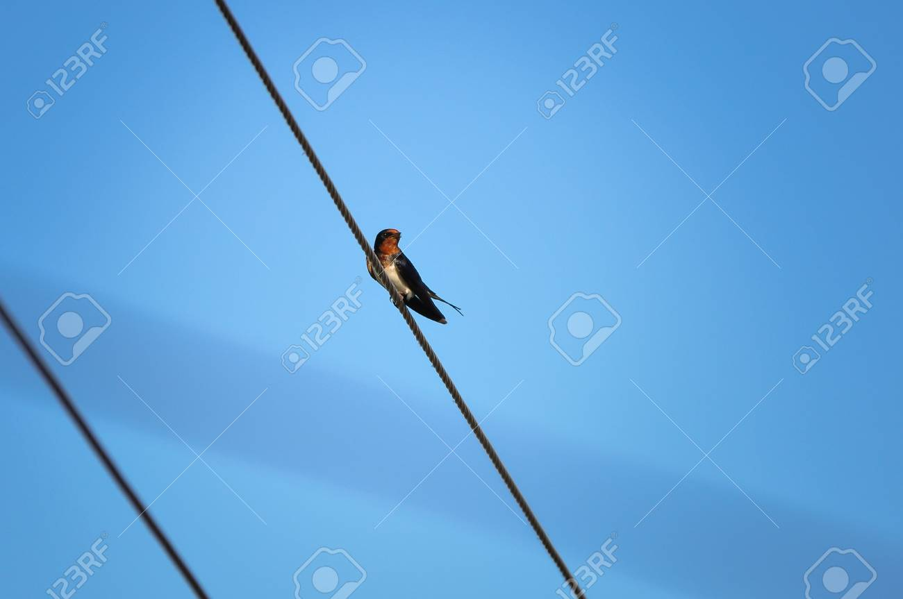 Swallow Bird Sitting On Wires Against The Blue Sky Stock Photo ...