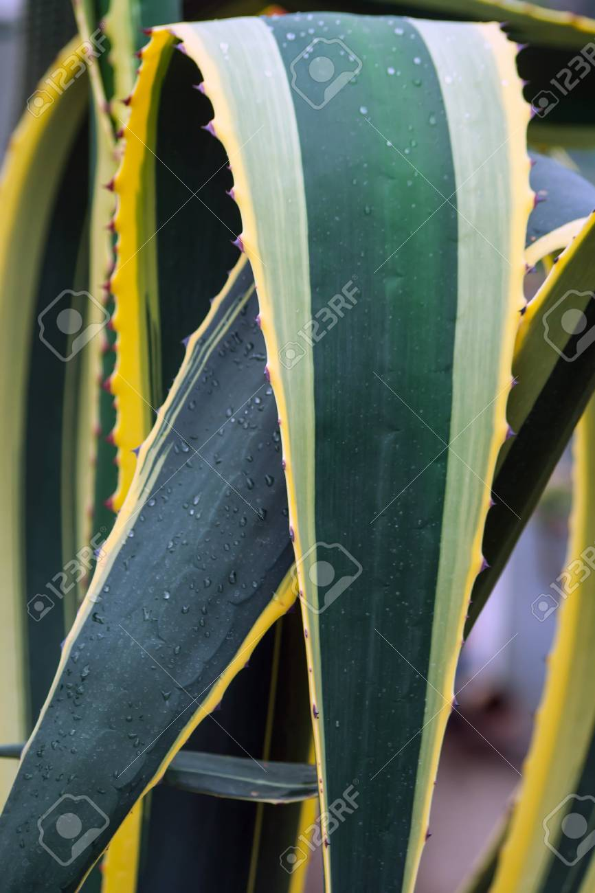 Parts Of A Huge Agave Yellow And Green Color With Large Spiky