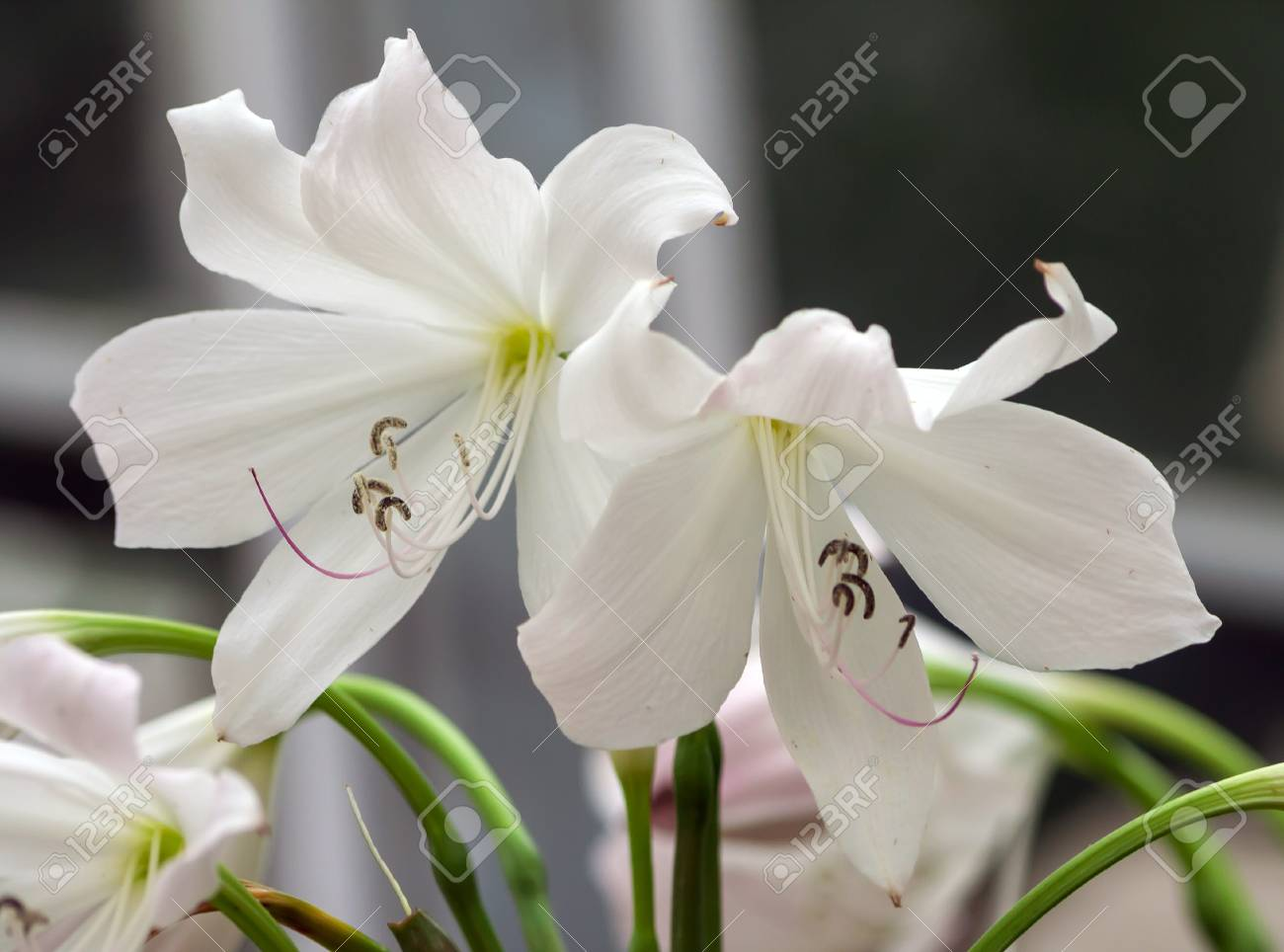 Beautiful Tropical White Flowers Like Lily White Two Flowering