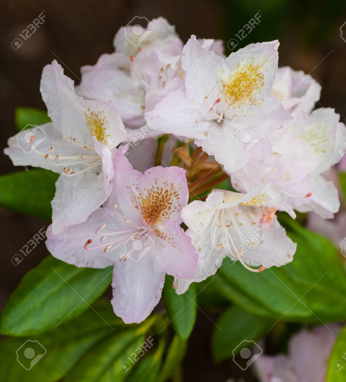 Rhododendron Mikkeli White Pink Bunch Of Flowers Finnish Variety