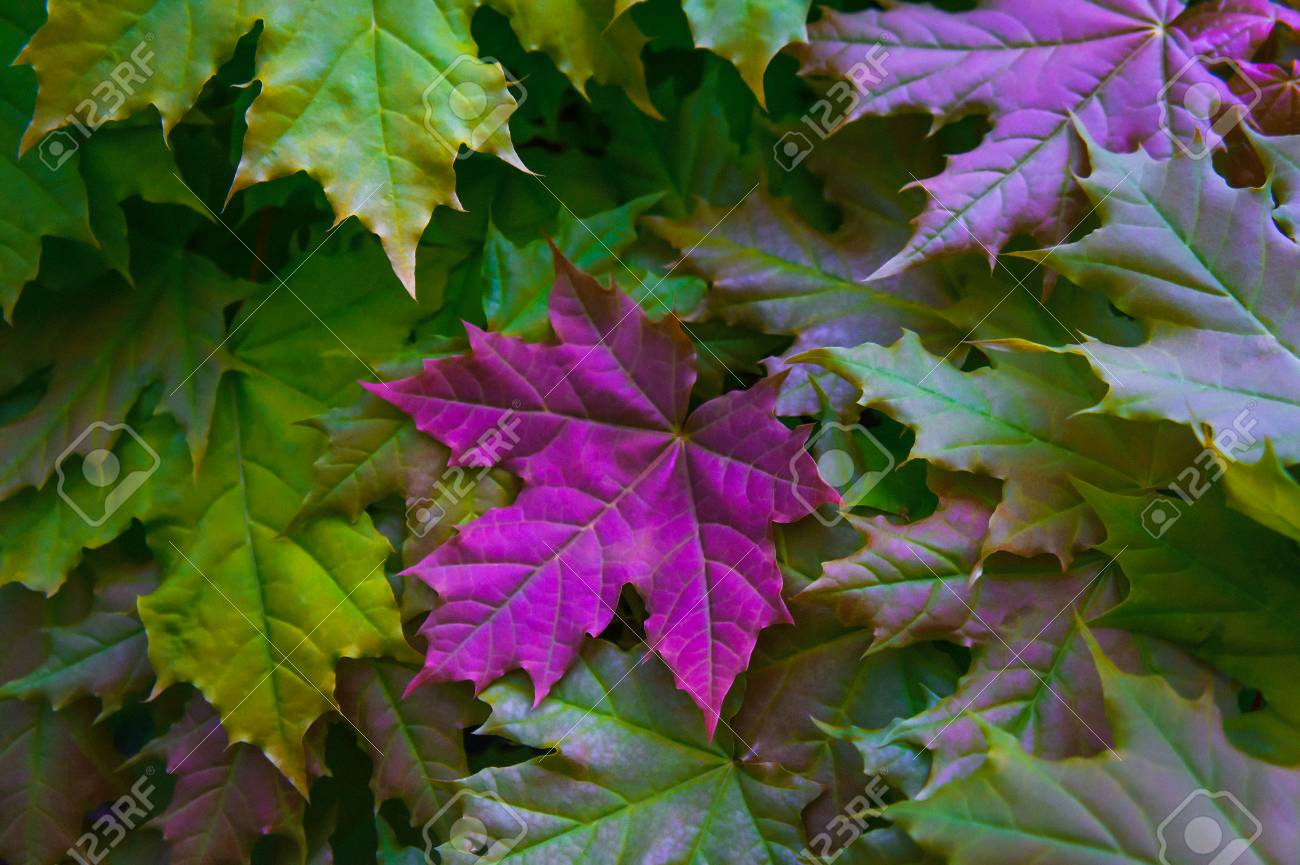 Maple Leaves In Yellow And Green Colors With A Large Bright Pink Stock Photo Picture And Royalty Free Image Image 106162699