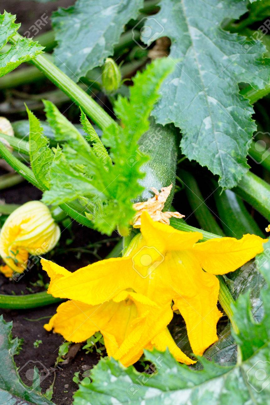 Zucchini Planted In The Black Earth Soil Bright Yellow Flowers