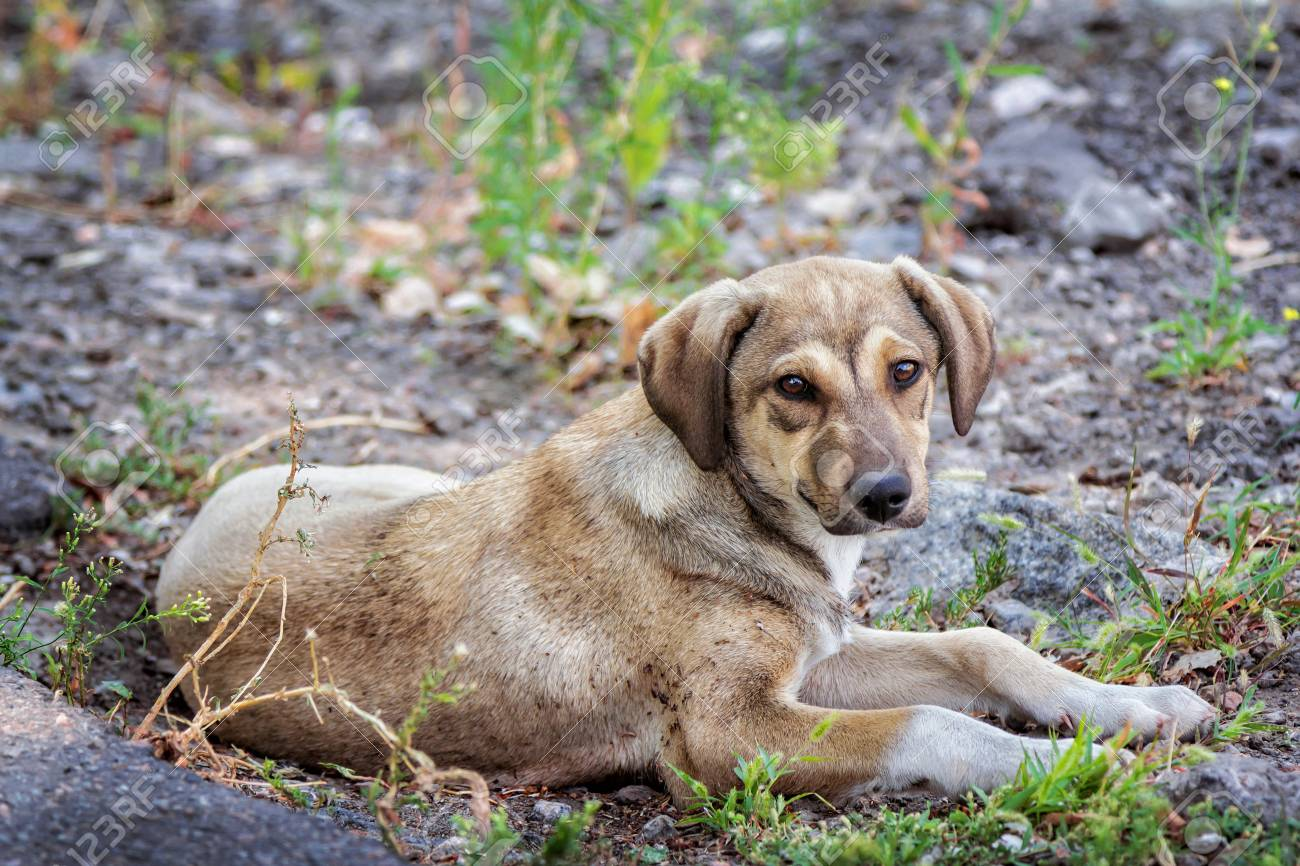 877cc15ce65 Cute brown stray dog laying on the ground outdoors Stock Photo - 64736330