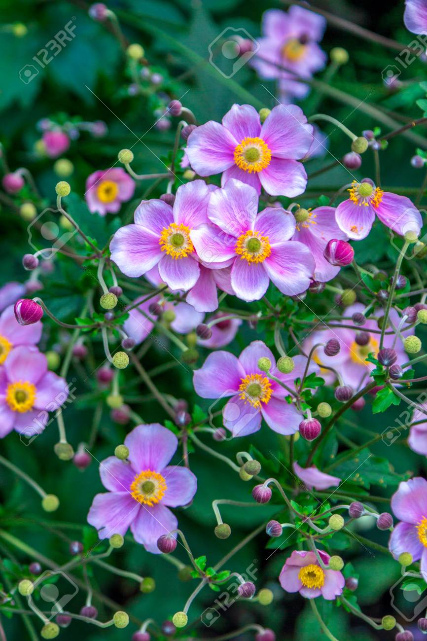 Beautiful pink japanese anemone flowers blooming in summer garden beautiful pink japanese anemone flowers blooming in summer garden stock photo 92672787 mightylinksfo