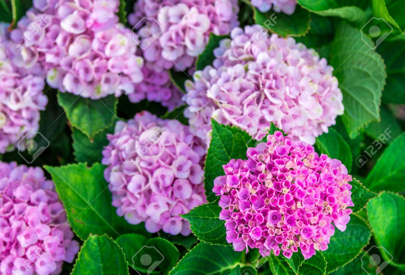 Beautiful bright pink flowers of blooming hydrangea bushes growing beautiful bright pink flowers of blooming hydrangea bushes growing in a garden stock photo mightylinksfo