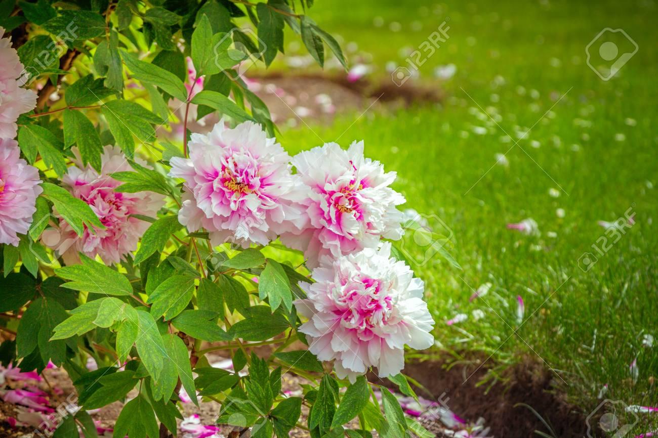Green Lawn And Blooming Tree Peonies Paeonia Suffruticosa Shrubs