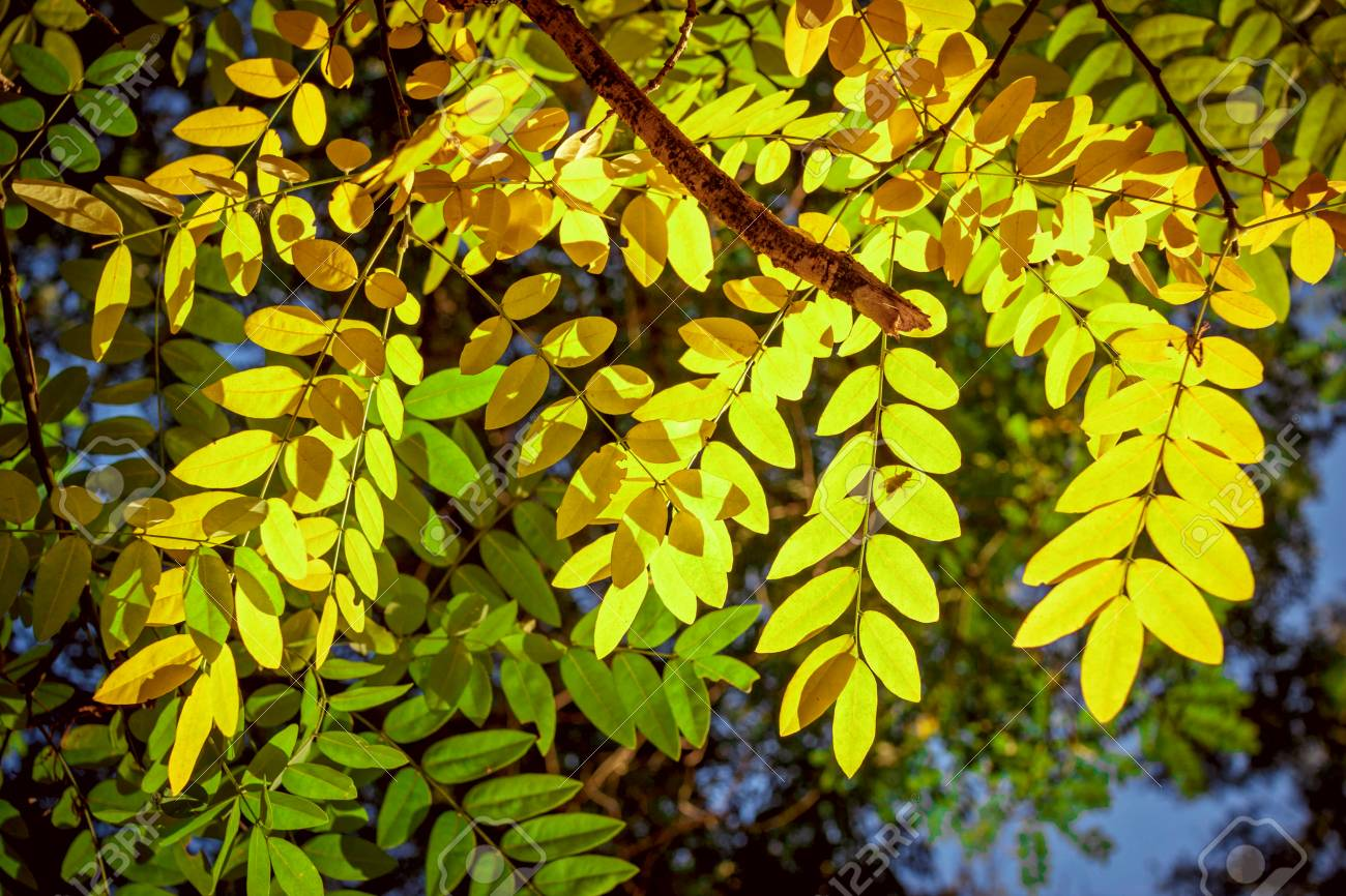 Beautiful Bright Yellow Acacia Tree Leaves In A Sunlight Autumn