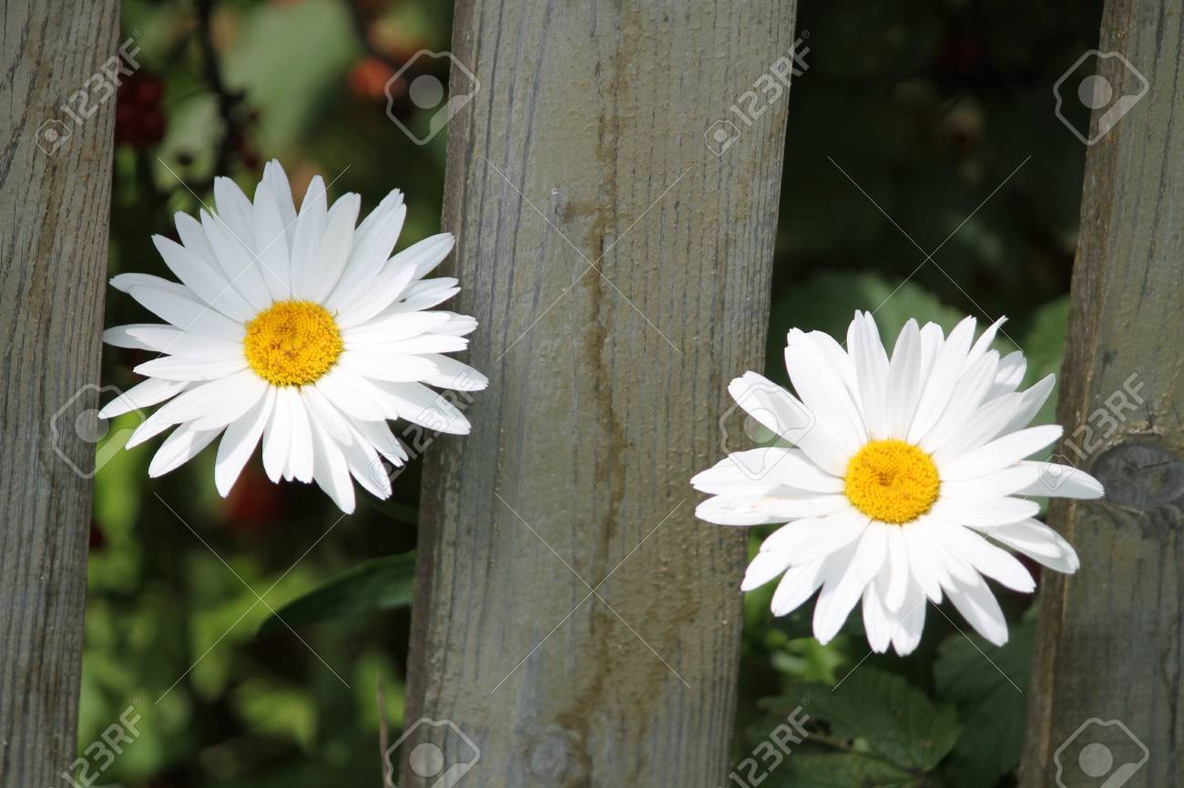 Two Sweet Daisy Flowers In Summer Bloom Good Morning New Day Stock