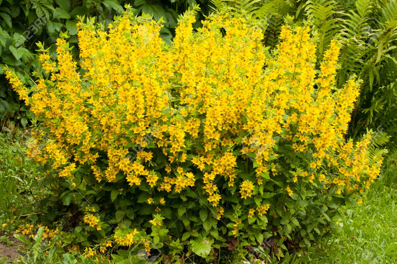 Beautiful Yellow Perennial Flowers Of Lysimachia Punctata Grow