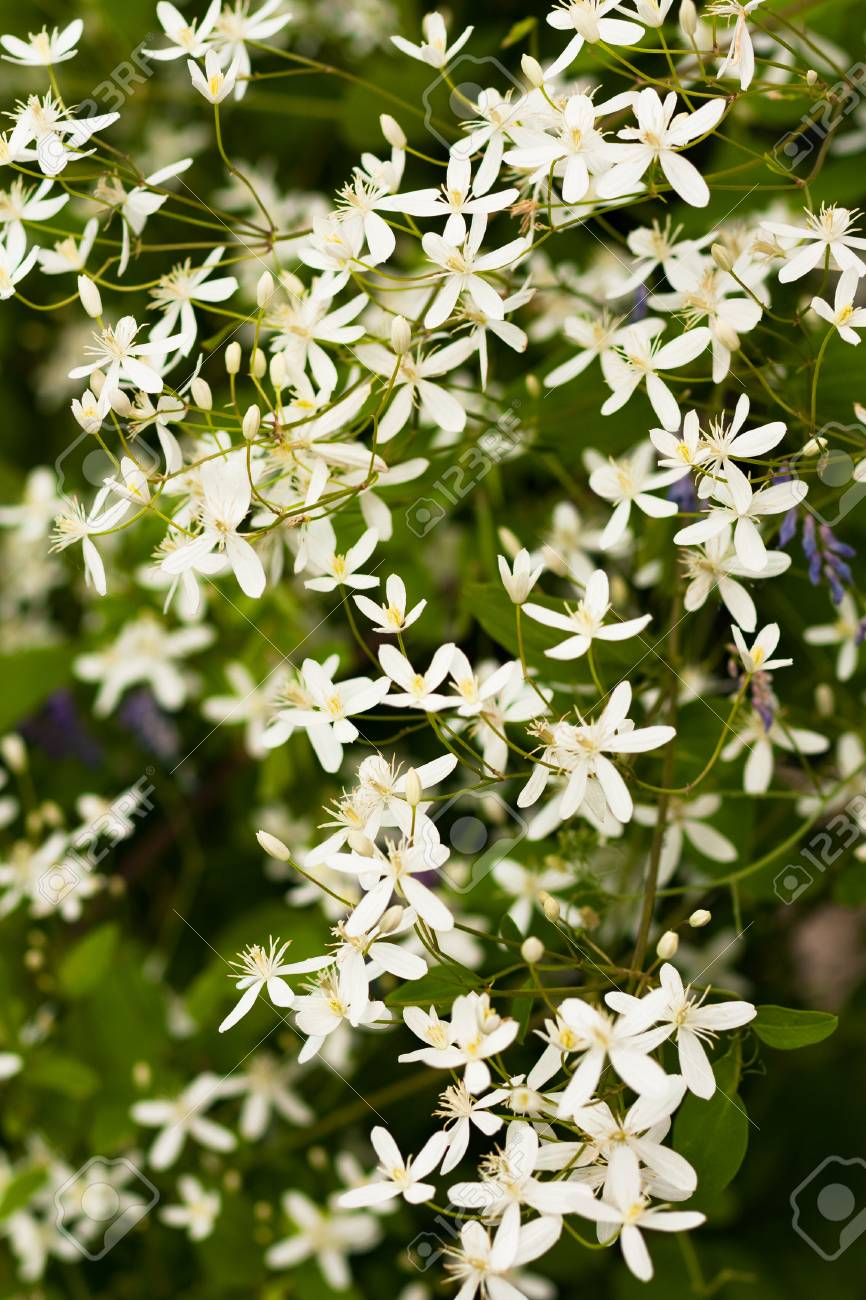 Beautiful White Flowers Clematis Paniculata Growing In Garden