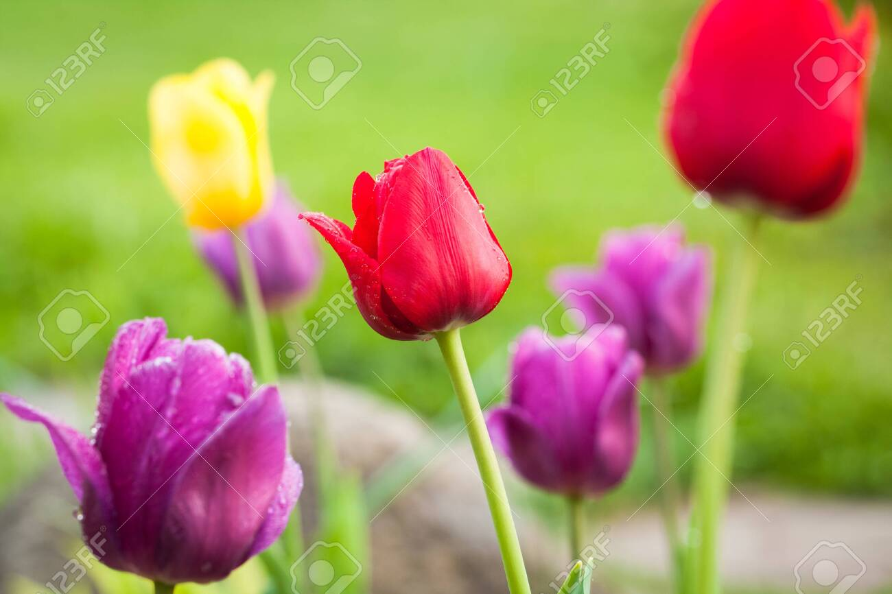 Close Up Of Beautiful Spring Colorful Flowers Tulip Growing In