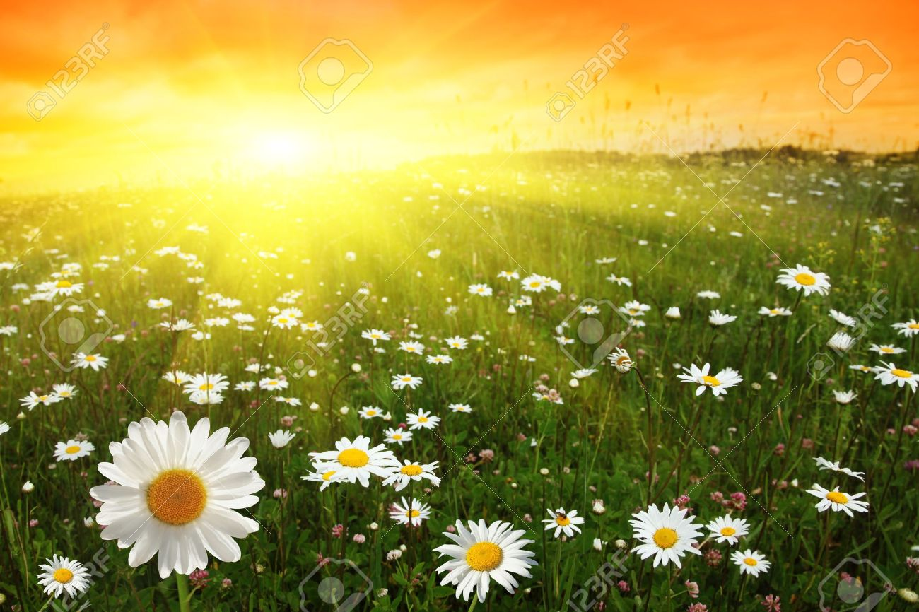 Flower field sunset Summer Flower Field And Sunset Stock Photo 11646138 123rfcom Flower Field And Sunset Stock Photo Picture And Royalty Free Image
