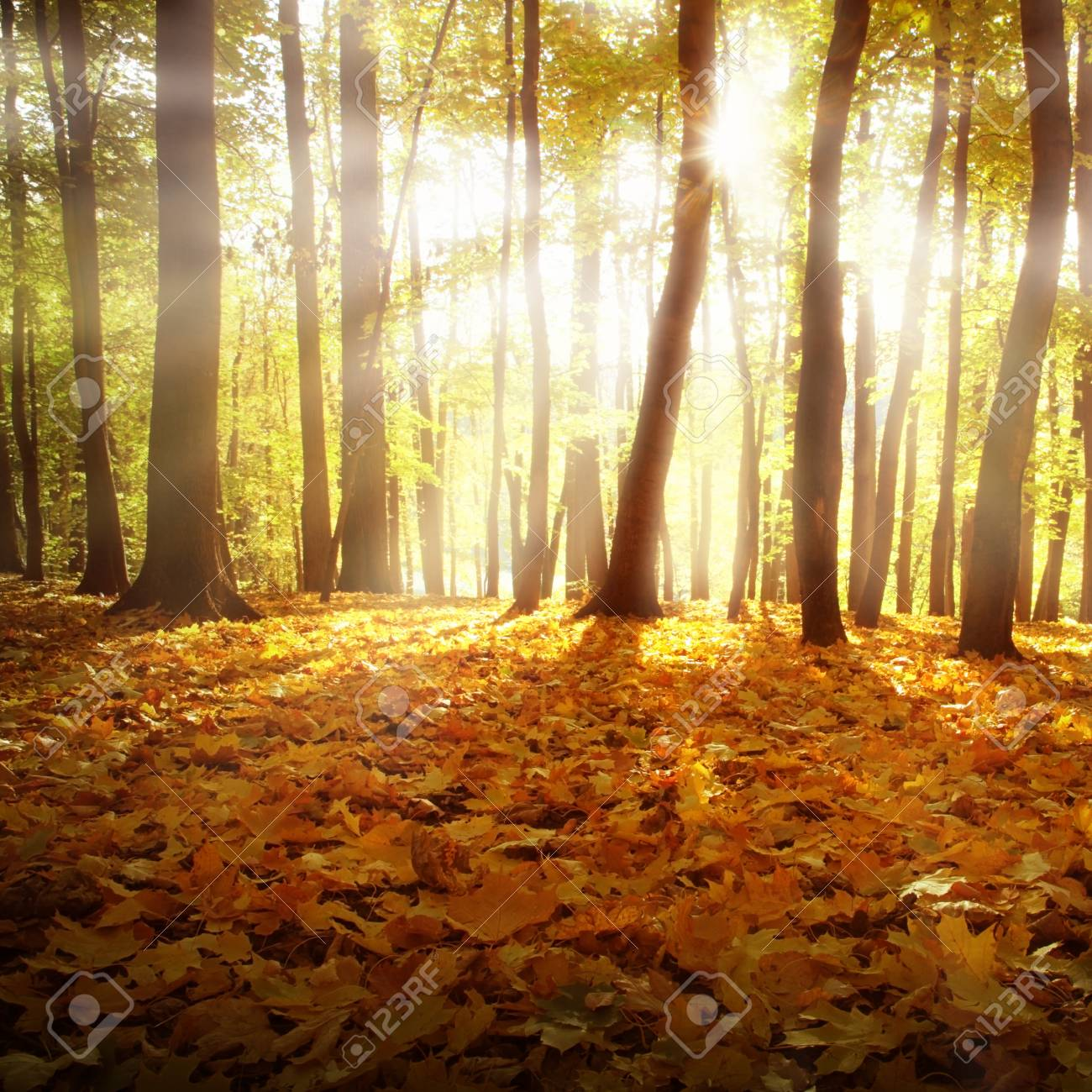 Sunlight and autumn forest. Stock Photo - 11646060