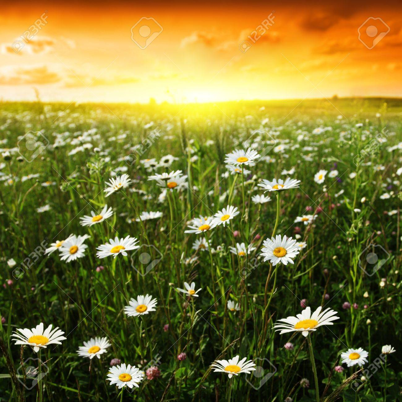 Flower field at sunset Stock Photo - 12466805