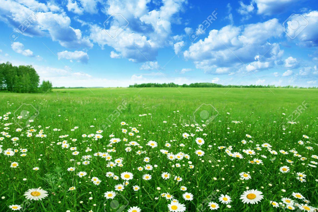 Field of daisies and blue sky. Stock Photo - 12778779