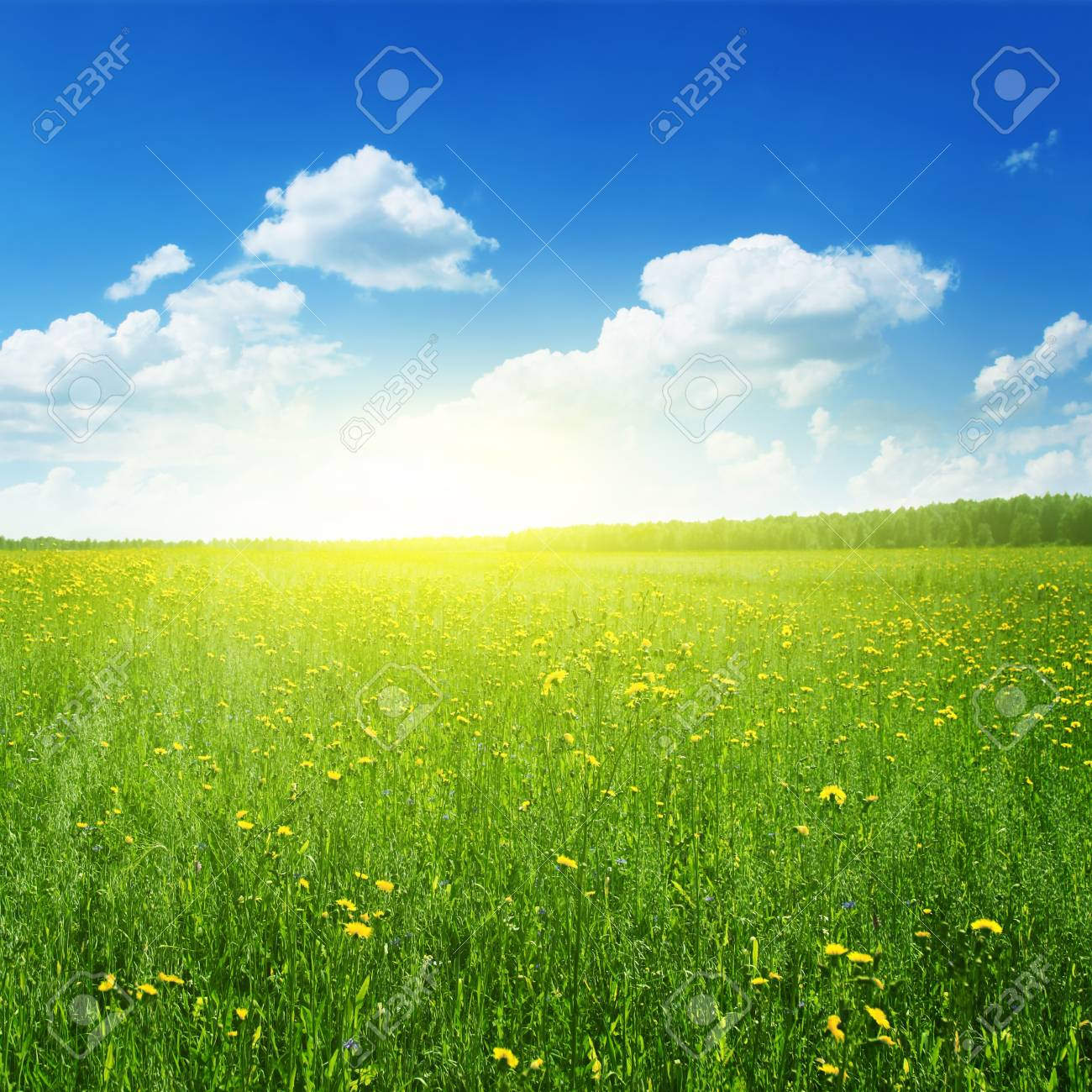Field of yellow wildflowers at sunset time Stock Photo - 12903081