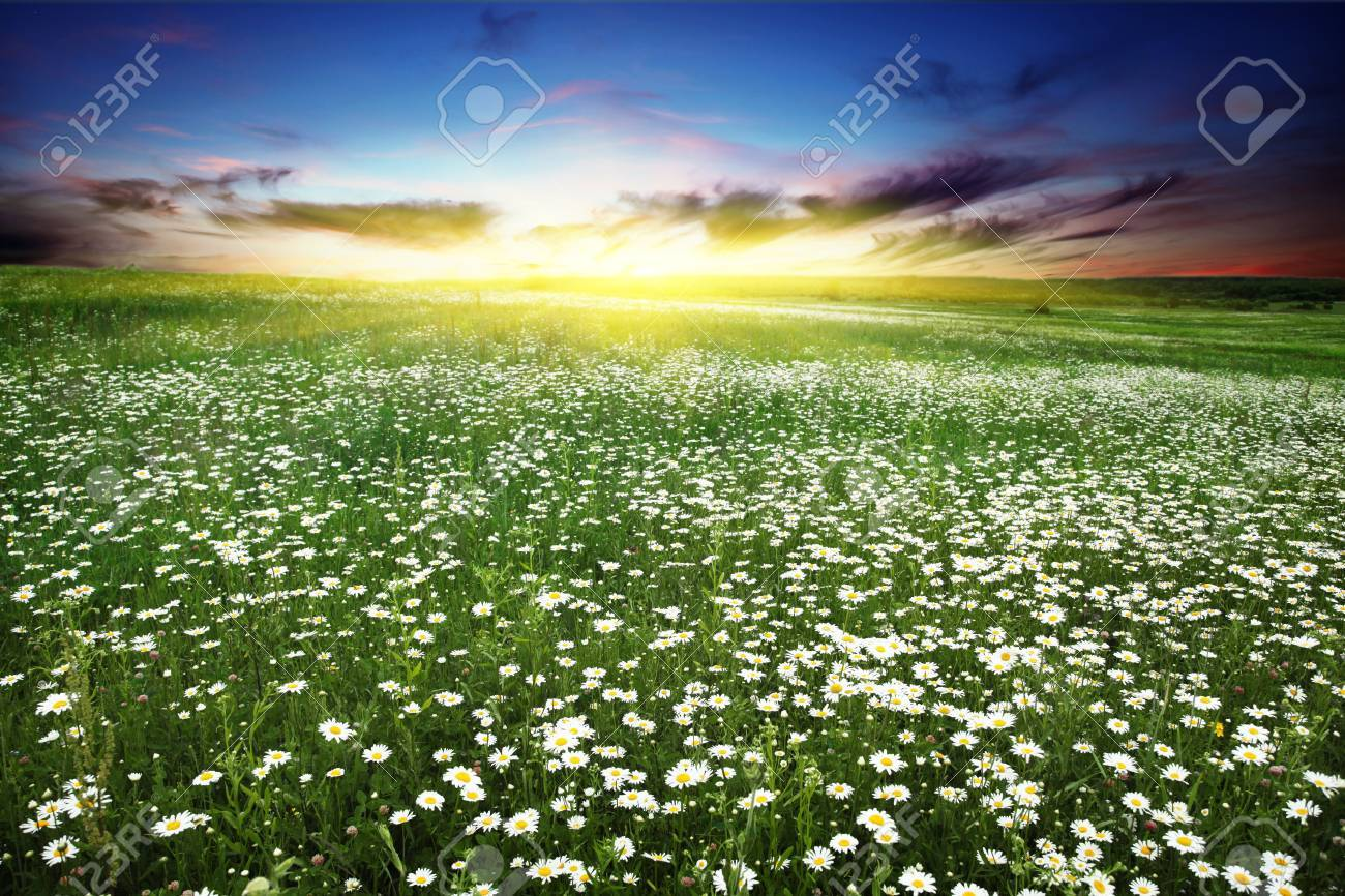 Beautiful sunset over flower field Stock Photo - 13040817