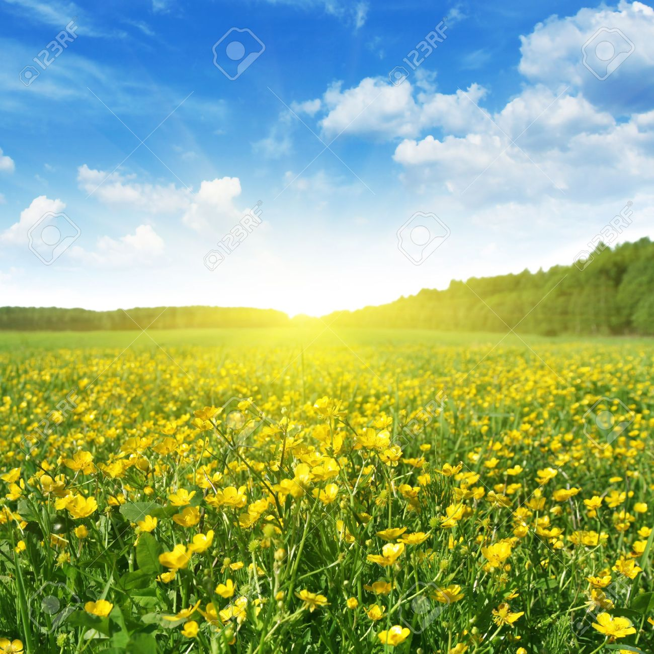 Field Of Spring Flowersblue Sky And Sun Stock Photo Picture And