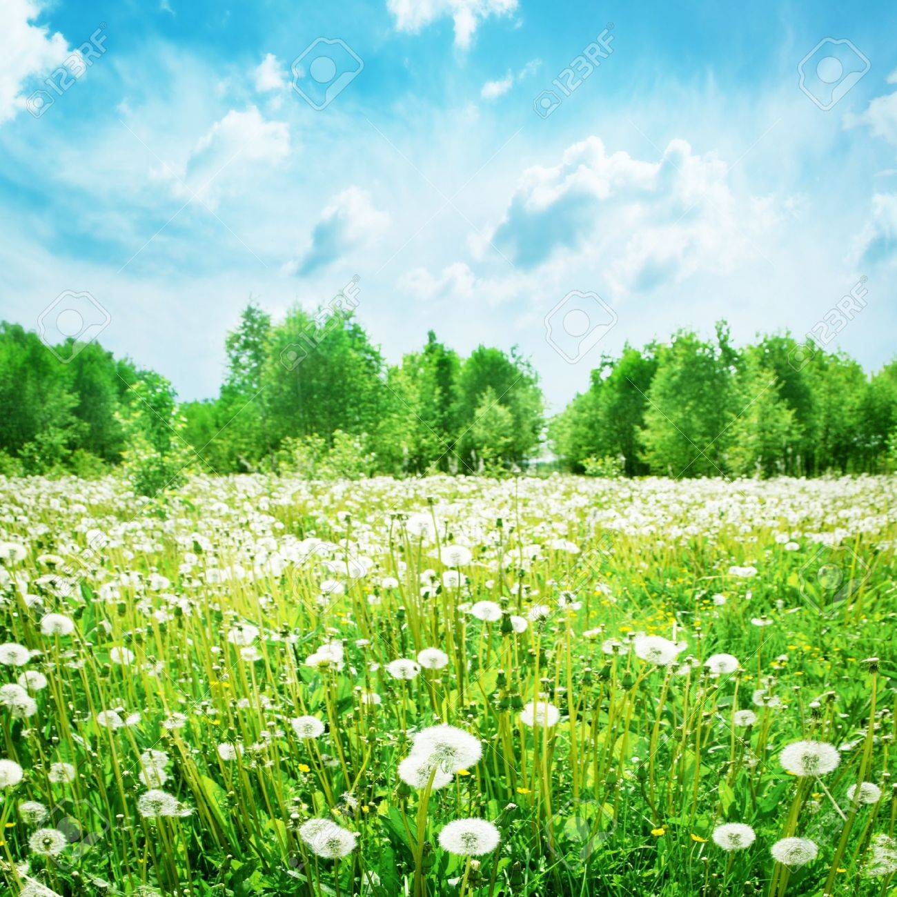 Summer landscape with dandelion field and blue sky Stock Photo - 13411728