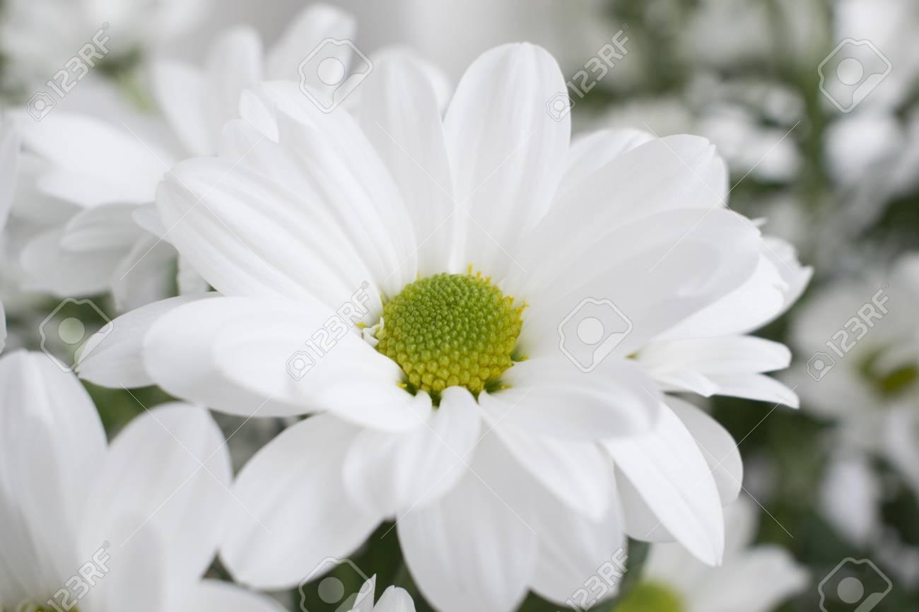 Closeup of white chrysanthemum flower with green blurred background closeup of white chrysanthemum flower with green blurred background stock photo 97771889 mightylinksfo
