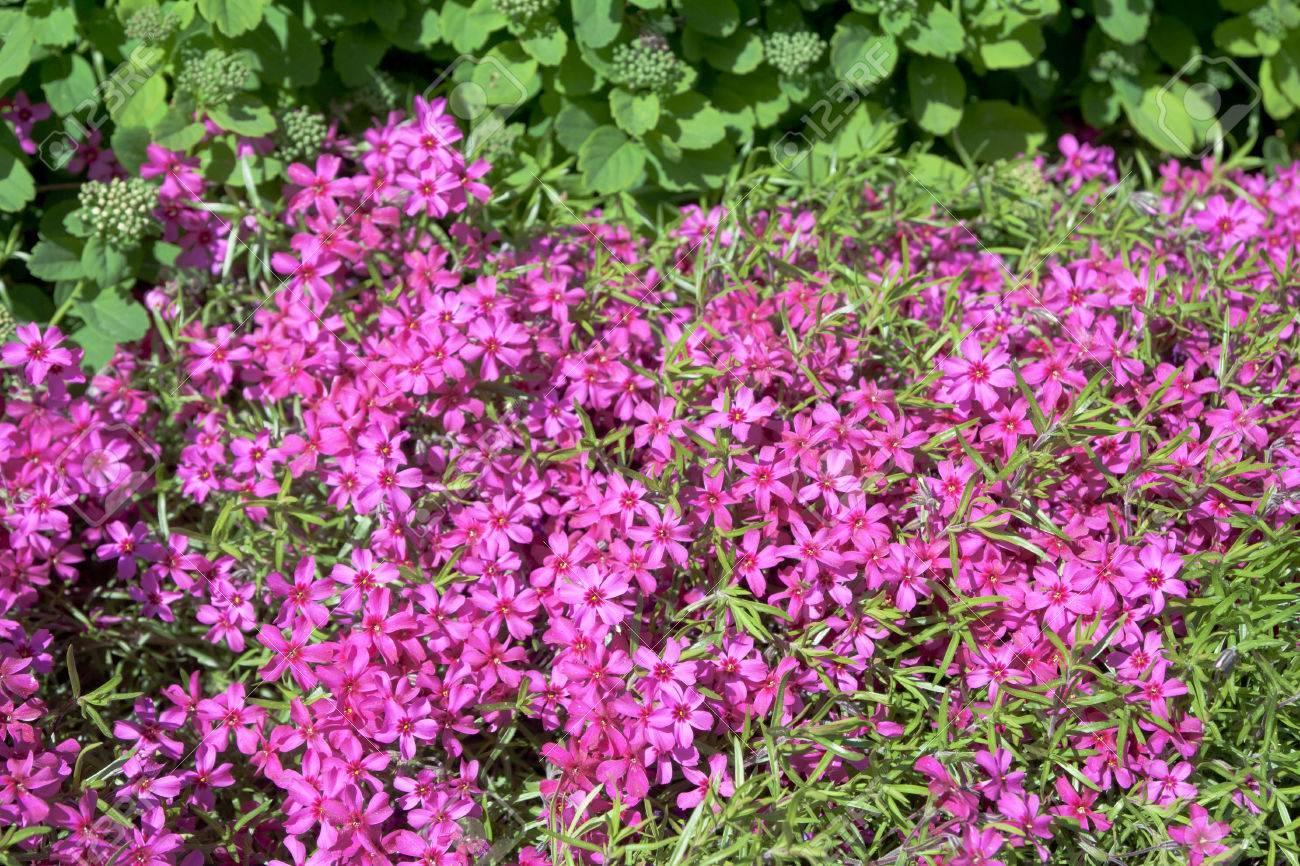 Plate-bande avec des fleurs de phlox rose dans le jardin d\'été