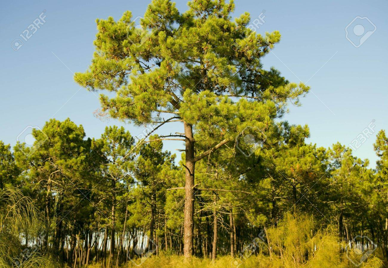 Sunset in a pine forest in Algarve, Portugal Stock Photo - 5767309