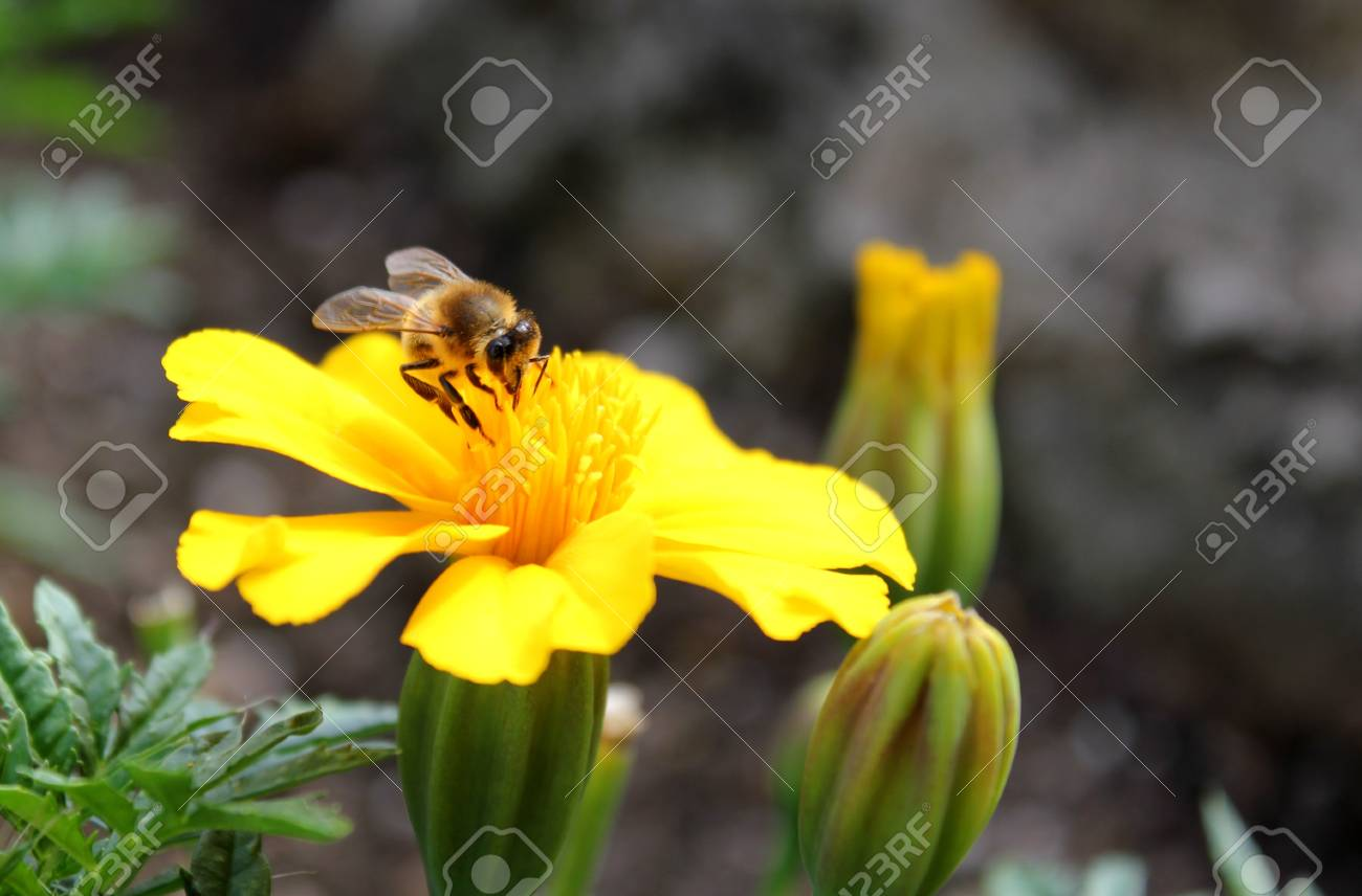 Bumblebee on a yellow flower Stock Photo - 7626984