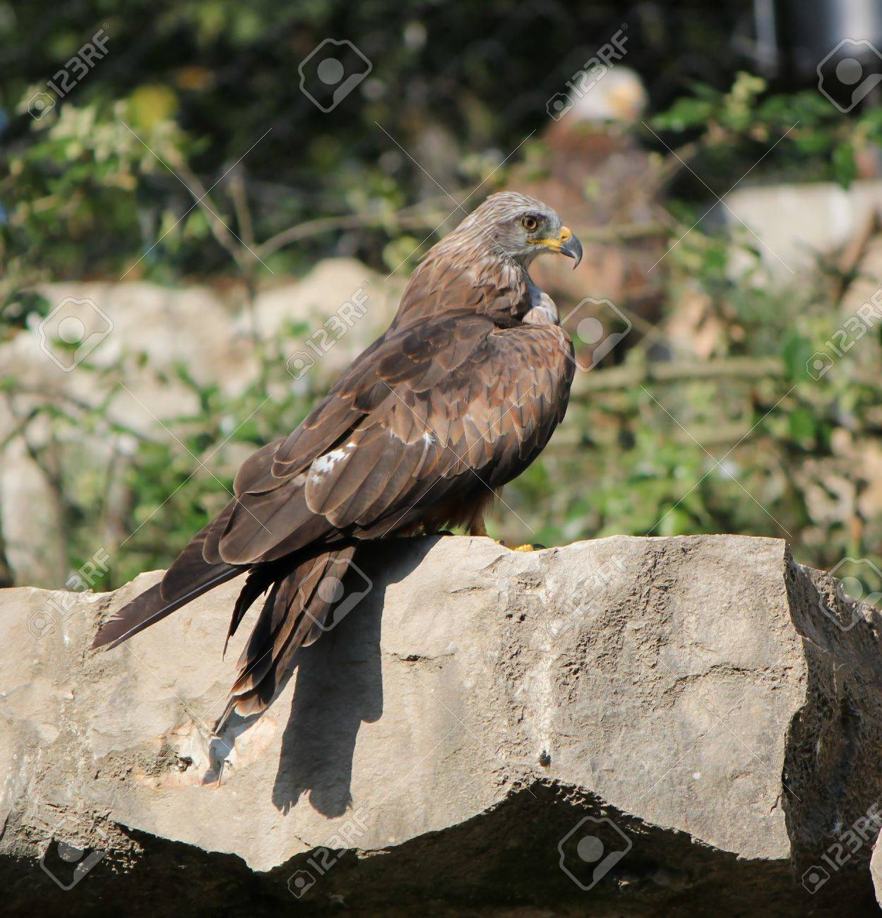Beautiful brown eagle standing proudly on a grey stone by sunset Stock Photo - 8032229