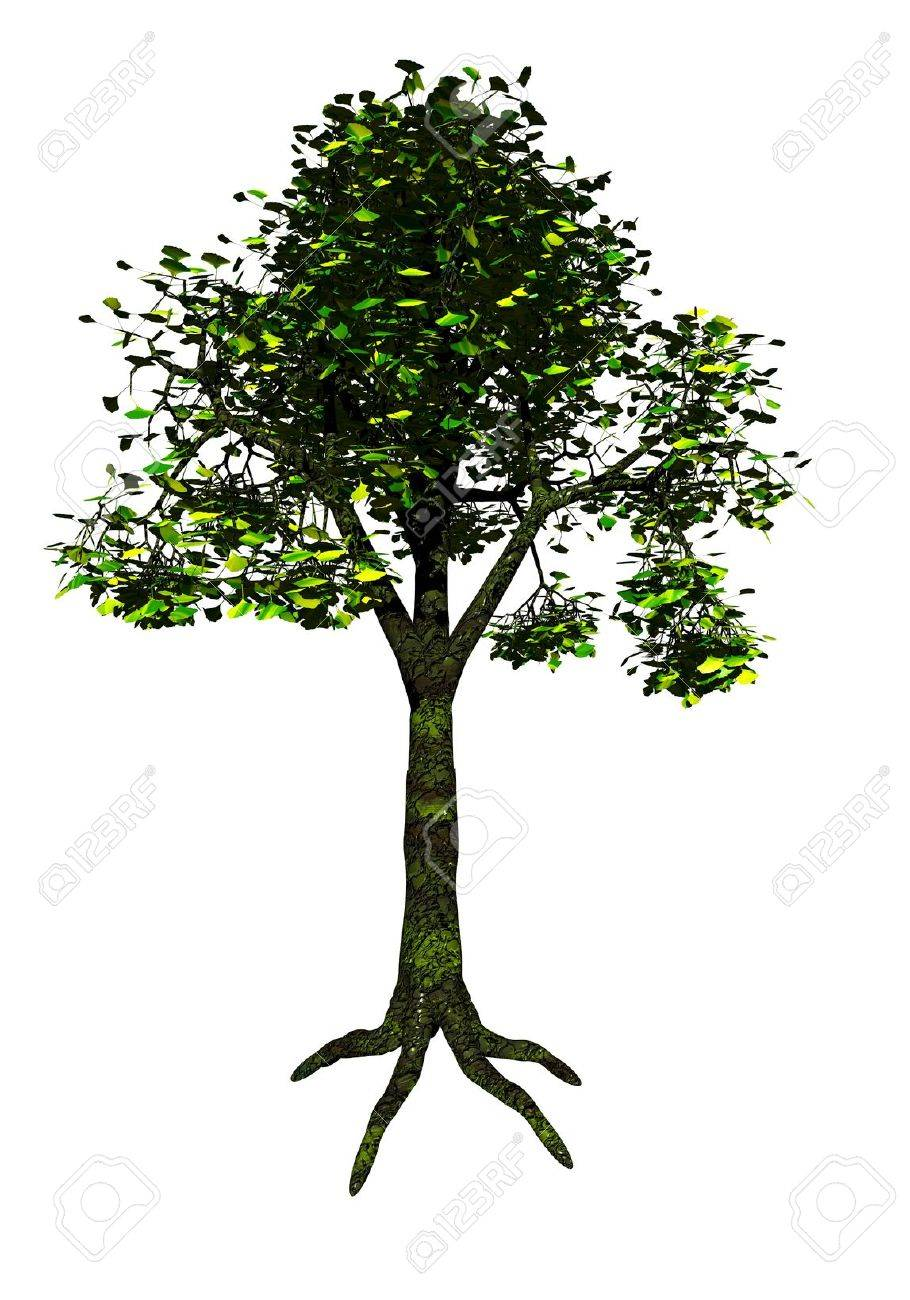 Ginkgo tree with lots of leaves isolated in white background Stock Photo - 10897087