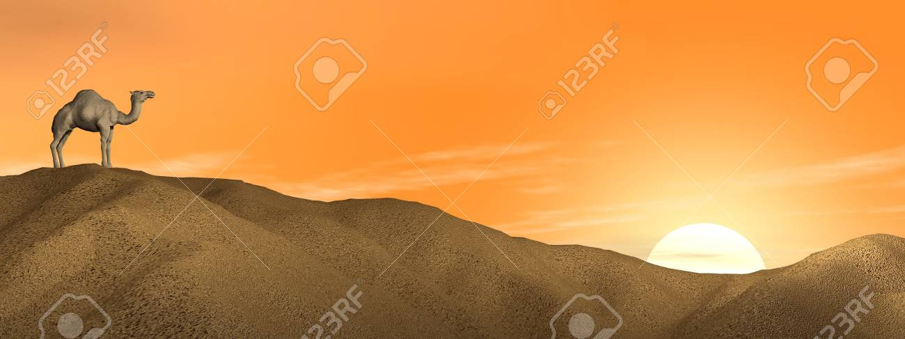 One camel standing on a sand dune in the desert by sunset Stock Photo - 15793077