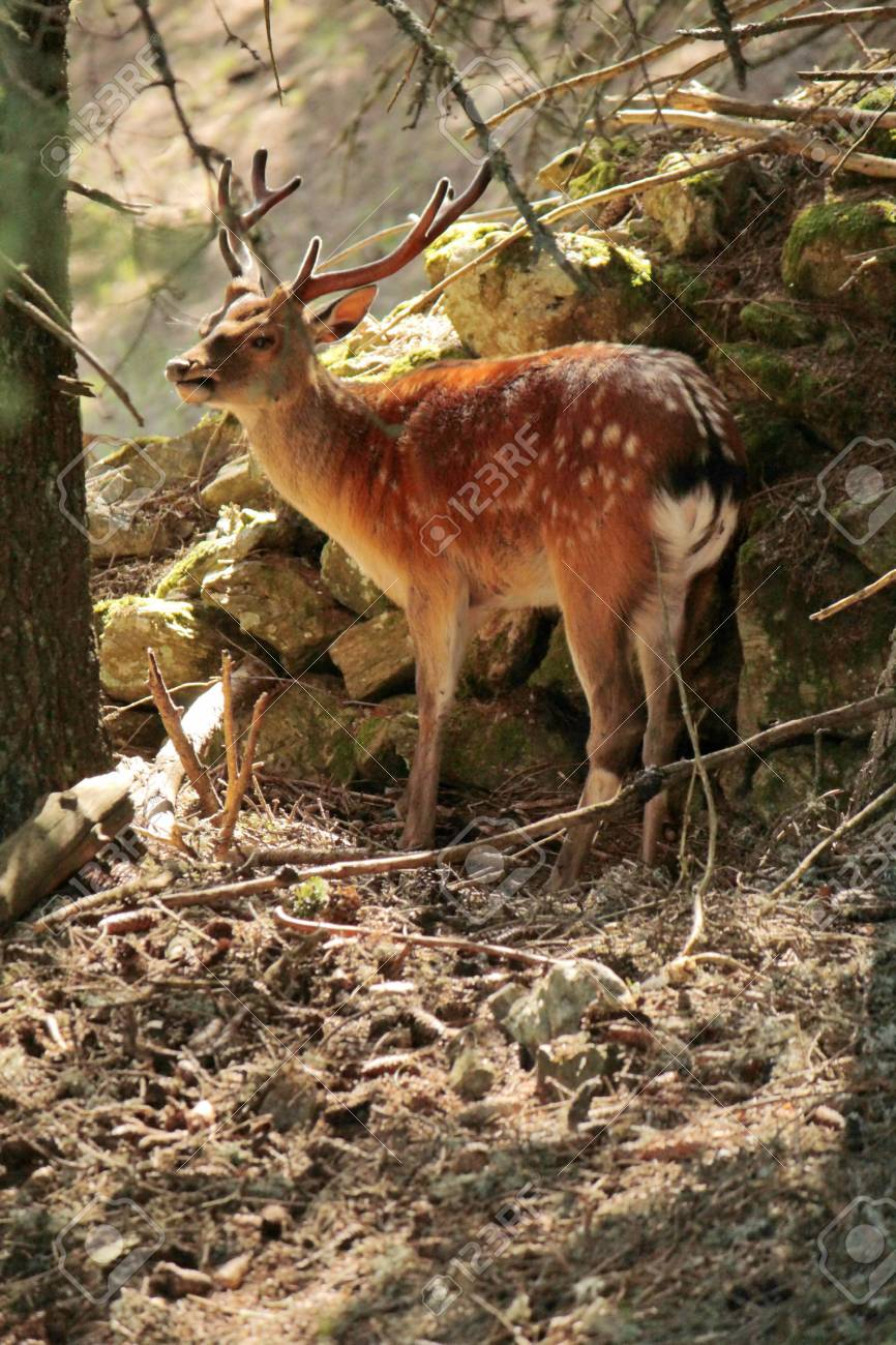 Doe standing in the woods Stock Photo - 17256184
