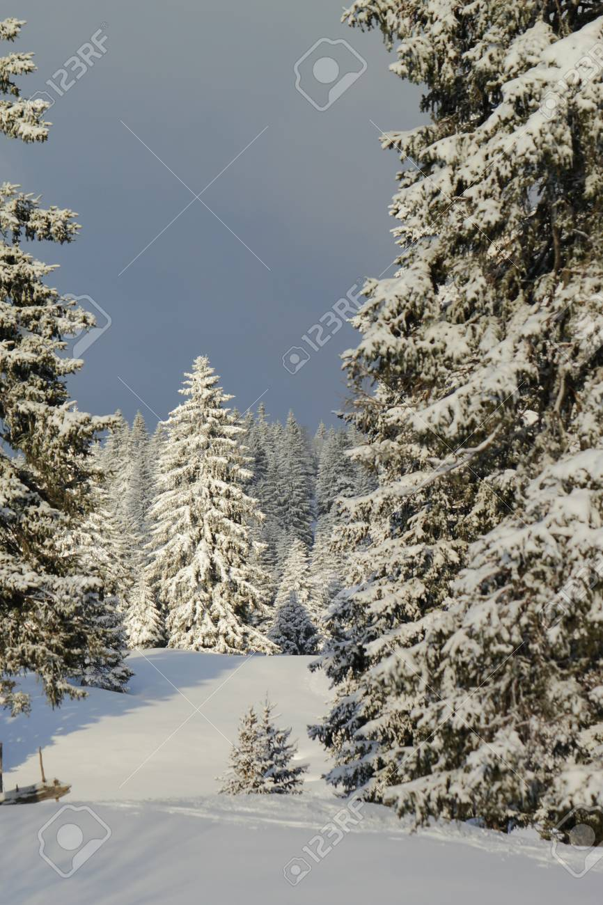 Beautiful fir trees covered with snow in the Jura mountain by cloudy day of winter, Switzerland Stock Photo - 17431428