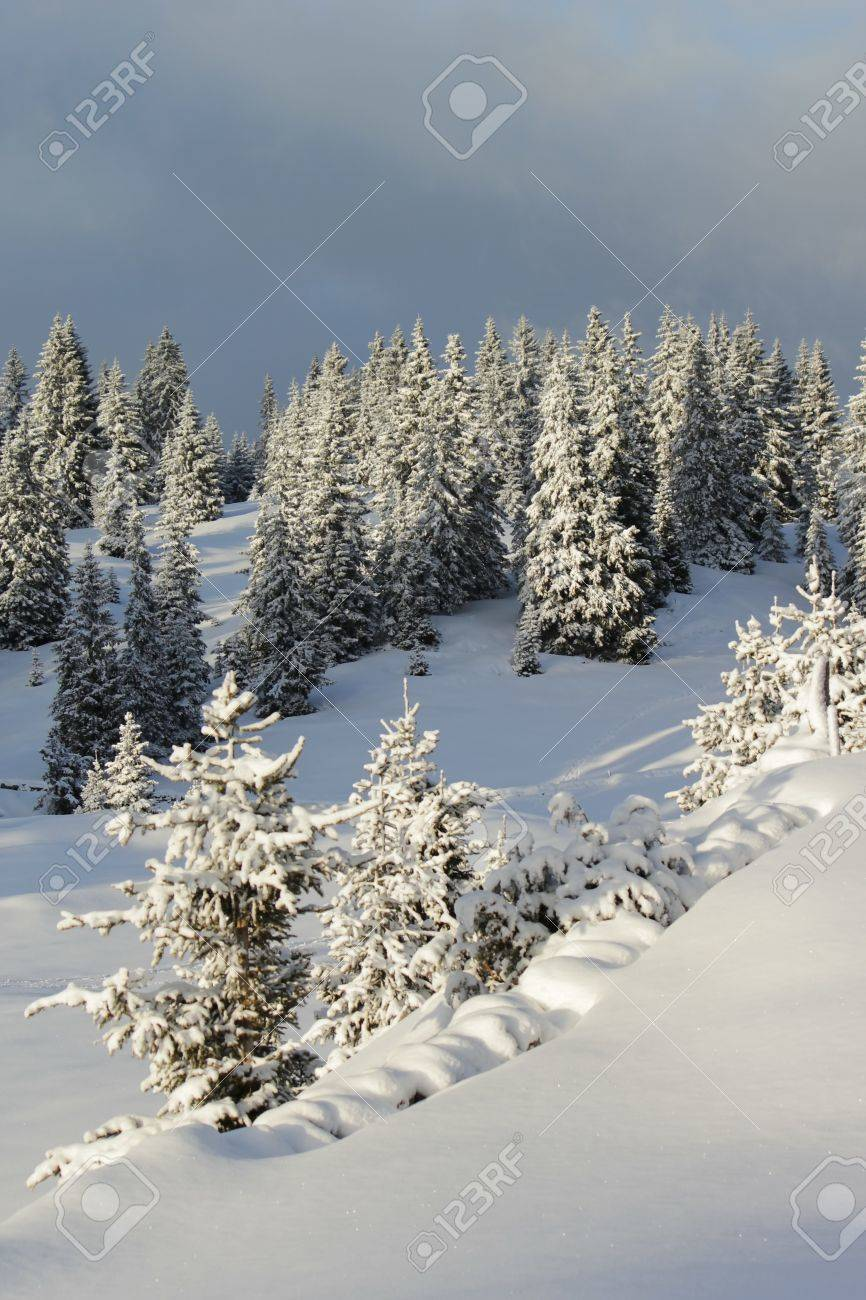 Beautiful fir trees covered with snow in the Jura mountain by cloudy day of winter, Switzerland Stock Photo - 17431425