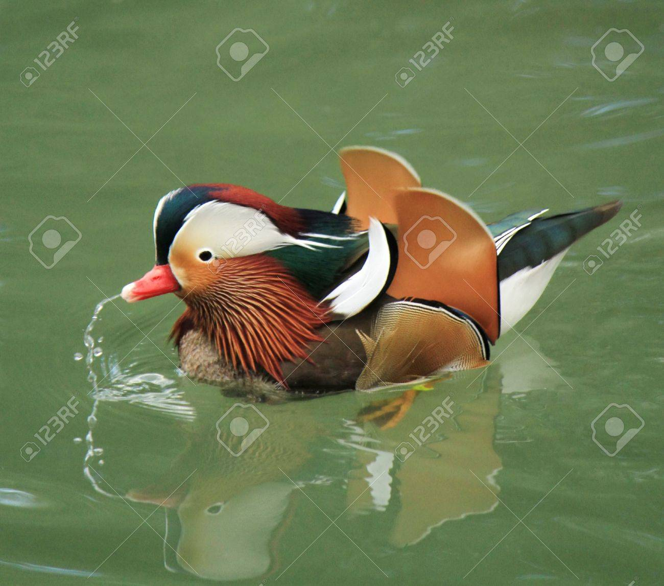 Mandarin duck floating on the water Stock Photo - 18060226